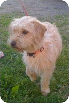 Cairn Terrier Mix Dog for adoption in Loudonville, New York - ZuZu