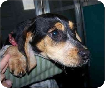 Beagle Mix Puppy for adoption in Ventnor City, New Jersey - KATIE