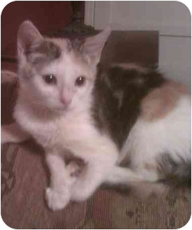 Calico Kitten for adoption in Bartlett, Tennessee - Lilly