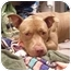 Photo 2 - American Staffordshire Terrier Dog for adoption in Brooklyn, New York - Moose