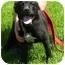 Photo 1 - Labrador Retriever/Shepherd (Unknown Type) Mix Puppy for adoption in Somerset, Pennsylvania - Bella