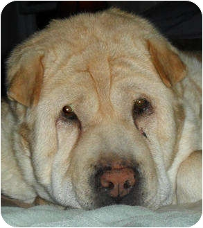 Shar Pei Dog for adoption in Barnegat Light, New Jersey - Molly