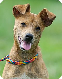 Dachshund/Boston Terrier Mix Dog for adoption in Providence, Rhode Island - Willis