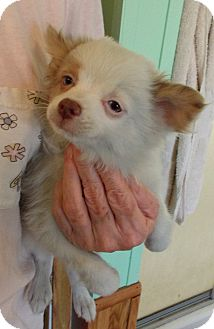 Pomeranian Mix Puppy for adoption in Weatherford, Texas - FELIX