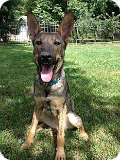 German Shepherd Dog Mix Dog for adoption in Youngstown, Ohio - Greta ~ Adoption Pending