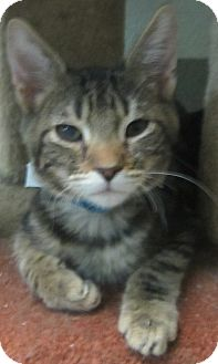 Domestic Shorthair Kitten for adoption in Westminster, California - Amazon