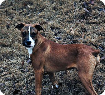 Boxer/Dachshund Mix Dog for adoption in Marietta, Georgia - Nicholas