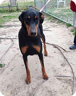 Doberman Pinscher Dog for adoption in killeen, Texas - Addie