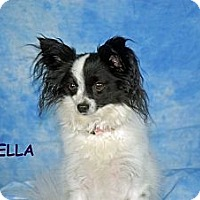 Adopt A Pet :: Bella - Ft. Myers, FL