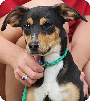 Dachshund/Terrier (Unknown Type, Small) Mix Dog for adoption in Pewaukee, Wisconsin - Edison