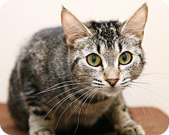 Domestic Shorthair Cat for adoption in Bellingham, Washington - Hailey