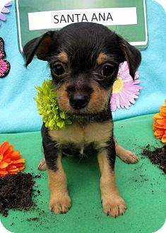 Yorkie, Yorkshire Terrier/Miniature Poodle Mix Puppy for adoption in Irvine, California - Bristol