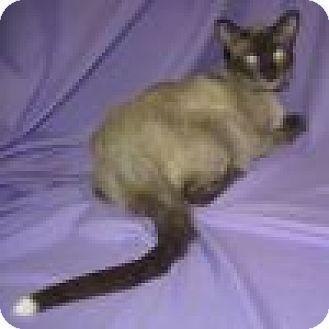Siamese Cat for adoption in Powell, Ohio - Boaz