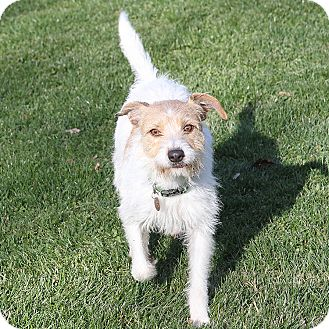 Jack Russell Terrier Mix Dog for adoption in Sacramento, California - Prius!