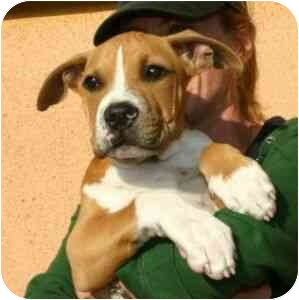 American Pit Bull Terrier Mix Puppy for adoption in Berkeley, California - Bilito
