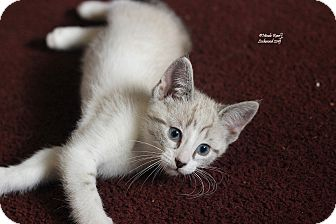 Domestic Shorthair Kitten for adoption in Flushing, Michigan - Opal
