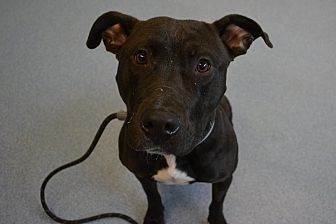 Pit Bull Terrier Mix Dog for adoption in Bay Shore, New York - Onyx