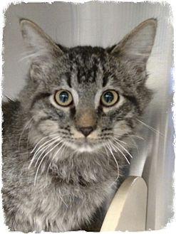 Domestic Longhair Kitten for adoption in Pueblo West, Colorado - Mathey