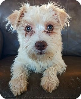 Terrier (Unknown Type, Small) Mix Puppy for adoption in Fredericksburg, Texas - Luke