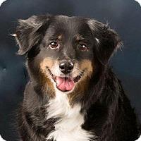 Adopt A Pet :: Blair - MINI AUSSIE - Mesquite, TX