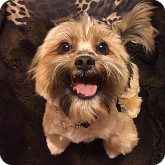 Lhasa Apso Mix Dog for adoption in Los Angeles, California - JASPER
