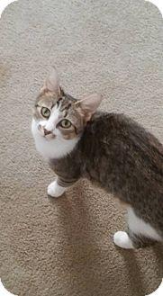 Domestic Shorthair Cat for adoption in Locust, North Carolina - Meeka