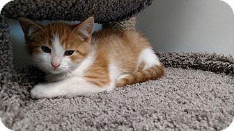 Domestic Shorthair Kitten for adoption in Chaska, Minnesota - Flint