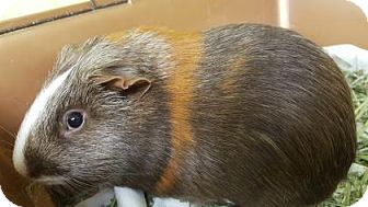 Guinea Pig for adoption in Lowell, Massachusetts - Reese