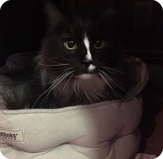 Maine Coon Cat for adoption in Absecon, New Jersey - Stardust