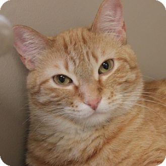 Domestic Shorthair Cat for adoption in Naperville, Illinois - Tyler