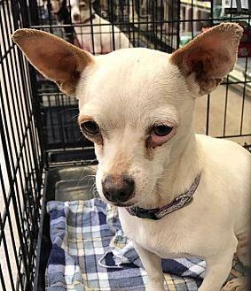 Chihuahua Mix Dog for adoption in Modesto, California - ABBOTT