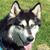 Adopt A Pet :: SHEBA - Boise, ID