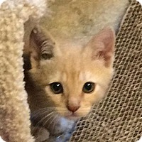 Adopt A Pet :: Enzo Orange kitten - Long Beach, CA