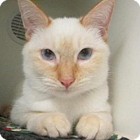 Adopt A Pet :: Jose Flame Point - Westerly, RI