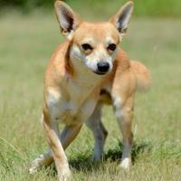 Adopt A Pet :: Foxy - Gainesville, TX