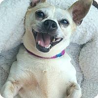 Adopt A Pet :: Mila - Andalusia, PA