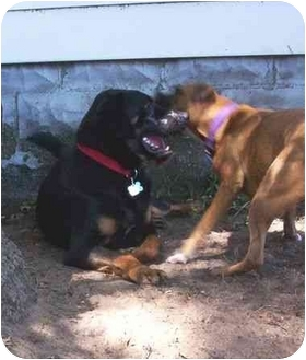 Rottweiler/Labrador Retriever Mix Dog for adoption in Muskegon, Michigan - PLUTO ( pending)
