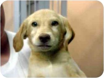 Labrador Retriever Mix Puppy for adoption in Manassas, Virginia - Lilly