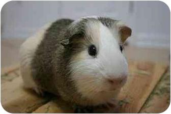 Guinea Pig for adoption in Durham, North Carolina - Benny Biggs
