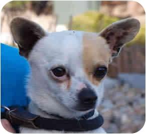 Chihuahua Mix Dog for adoption in Reno, Nevada - Goober