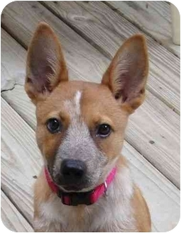 Australian Cattle Dog Mix Puppy for adoption in Humble, Texas - Barbie