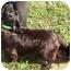 Photo 3 - Pembroke Welsh Corgi/Cocker Spaniel Mix Dog for adoption in Somerset, Pennsylvania - Hank