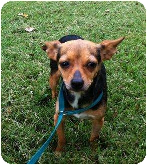 Chihuahua Mix Dog for adoption in Hammonton, New Jersey - denise