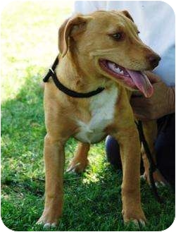Redbone Coonhound Mix Puppy for adoption in Allentown, Pennsylvania - Cheyanne