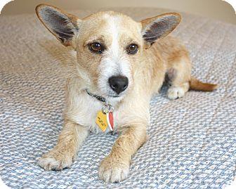 Jack Russell Terrier/Corgi Mix Dog for adoption in Yorba Linda, California - Yoda - 10 lbs.