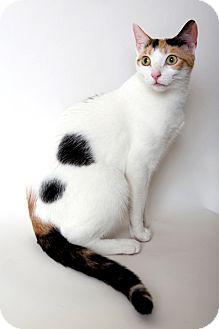 Domestic Shorthair Cat for adoption in Brooklyn, New York - Margaux