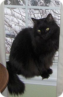 Domestic Longhair Cat for adoption in Reston, Virginia - Mouse