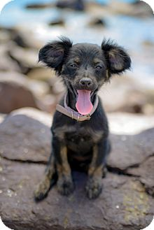 Spaniel (Unknown Type)/Chihuahua Mix Puppy for adoption in Irvine, California - BELLE, tiny!