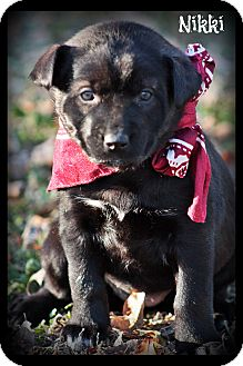 Siberian Husky/Labrador Retriever Mix Puppy for adoption in Glastonbury, Connecticut - Nikki