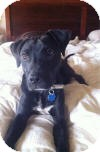 Boxer/Labrador Retriever Mix Puppy for adoption in North Wales, Pennsylvania - Cole